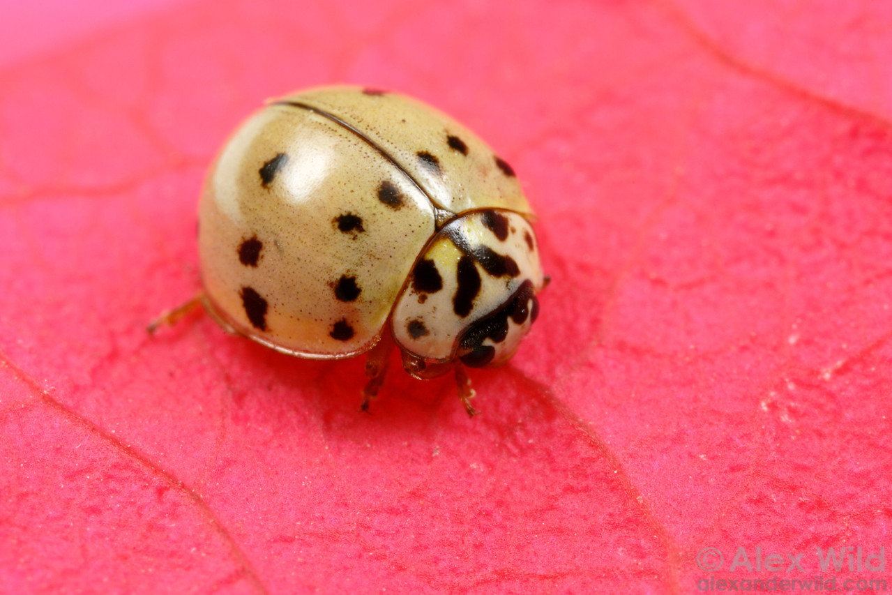Olla - Ashy Gray Ladybird - Arizona, USA.  filename: Olla1