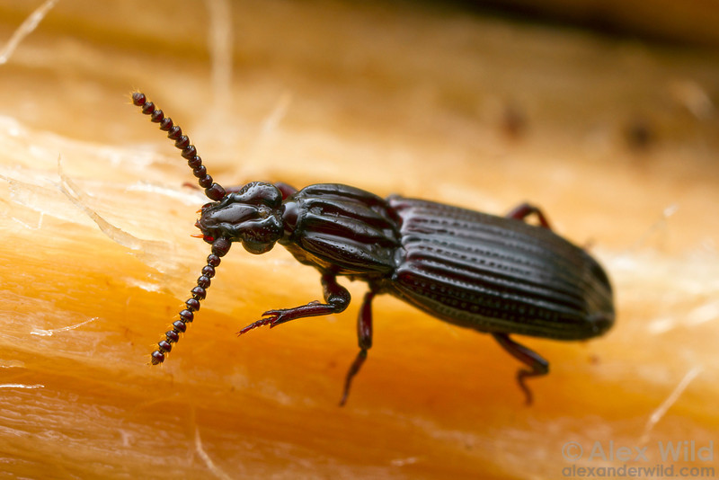 Omoglymmius wrinkled bark beetle.  Cape Tribulation, Queensland, Australia