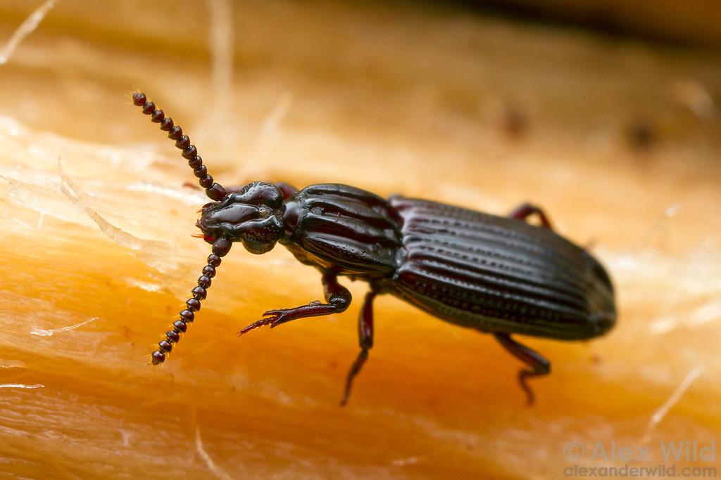 Omoglymmius wrinkled bark beetle.  Cape Tribulation, Queensland, Australia