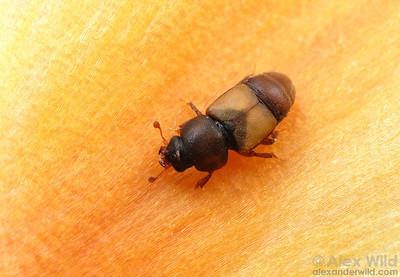 Carpophilus sp. Sap Beetle - Nitidulidae.  Arizona.  filname: Carpophilus2