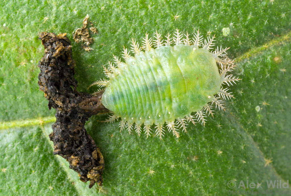 Plagiometriona c.f. clavata larva with fecal shield