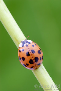 Harmonia axyridis - Asian Multi-Colored Ladybeetle.  Illinois, USA.  filename: Harmonia6