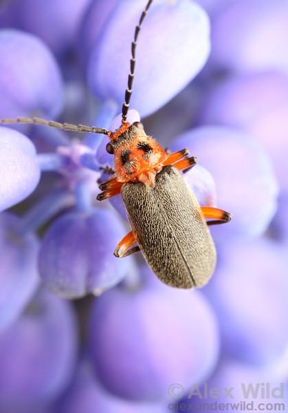 Atalantycha bilineata (Cantharidae)  Urbana, Illinois, USA