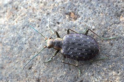Opisthius richardsoni - Ground Beetle (Carabidae).  Montana, USA.  filename: Opisthius4
