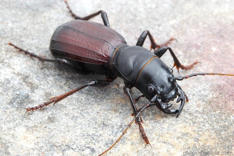 Amblycheila cylindriformis, North America's largest tiger beetle.  filename: Amblycheila2