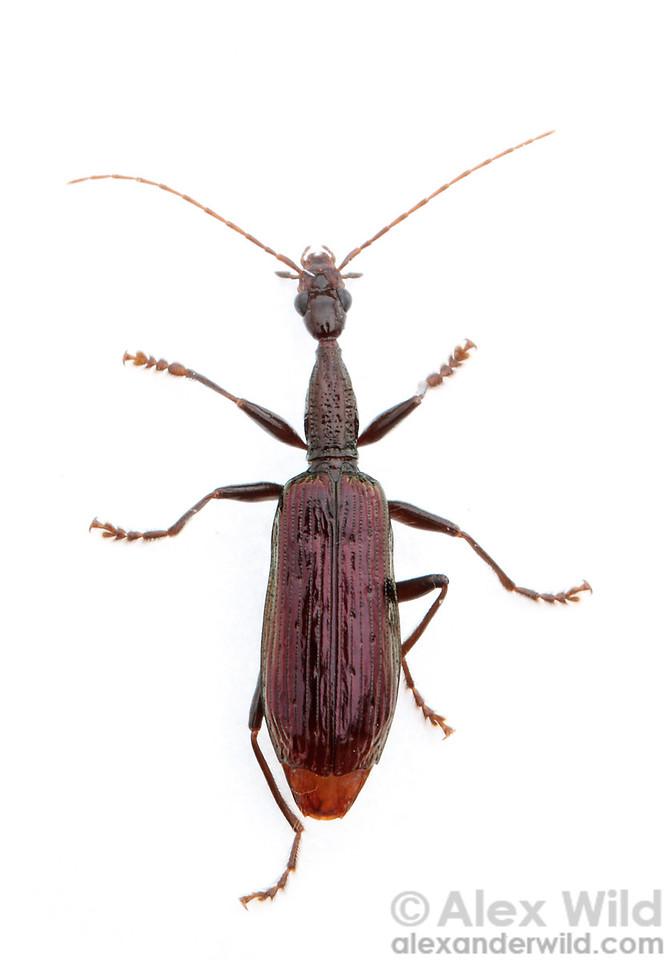 Agra sp., Carabidae  Maquipucuna reserve, Pichincha, Ecuador