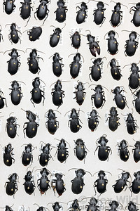Ground beetles (Carabidae) in a museum collection.