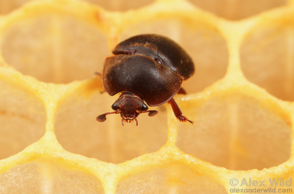 Aethina tumida, the small hive beetle.  Urbana, Illinois, USA