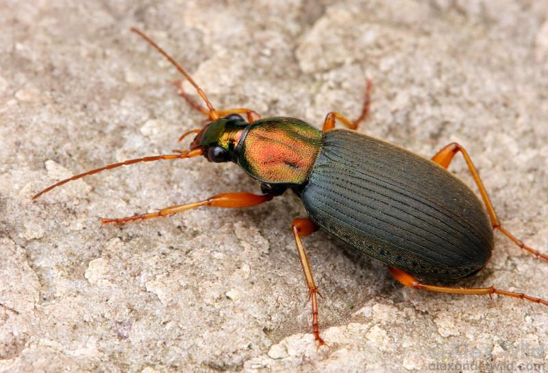Chlaenius sp. ground beetle.  Urbana, Illinois, USA