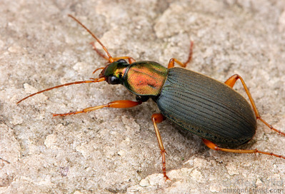 Chlaenius sp. ground beetle.  Urbana, Illinois, USA