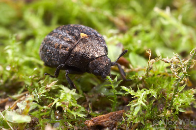 Cytilus alternatus - pill beetle.  Pennsylvania, USA.  filename: Byrrhid1