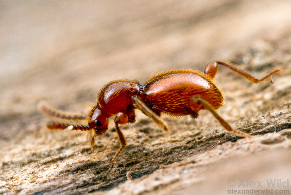 An antlike stone beetle (Staphylinidae: Scydmaeninae).  Yandoit, Victoria, Australia