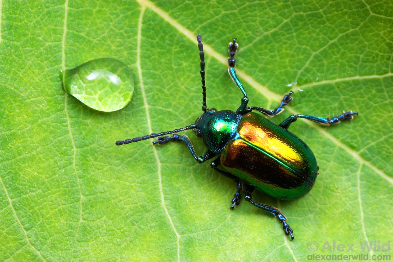 Chrysochus auratus, the dogbane leaf beetle (Chrysomelidae).  Naples, New York, USA.  filename: chrysochusauratus1