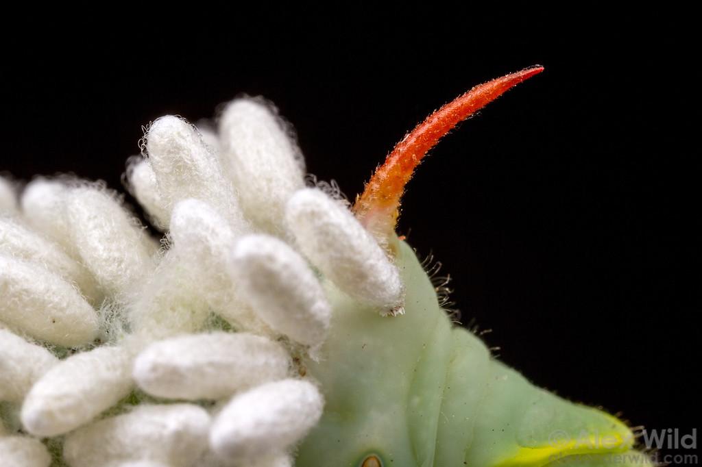 Cotesia cocoons on hornworm