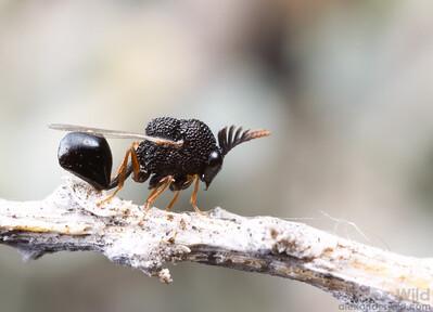 Eucharitidae