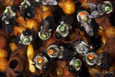 Bombus impatiens - bumblebee nest.   Laboratory colony at the University of Arizona.