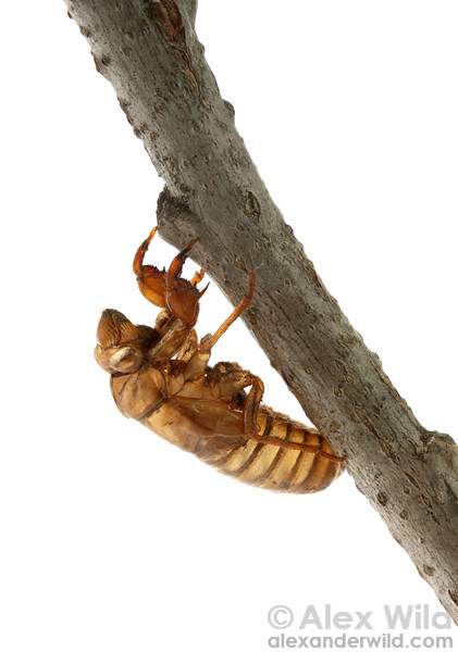 The shed skin of a Magicicada periodical cicada.  Allerton Park, Illinois, USA