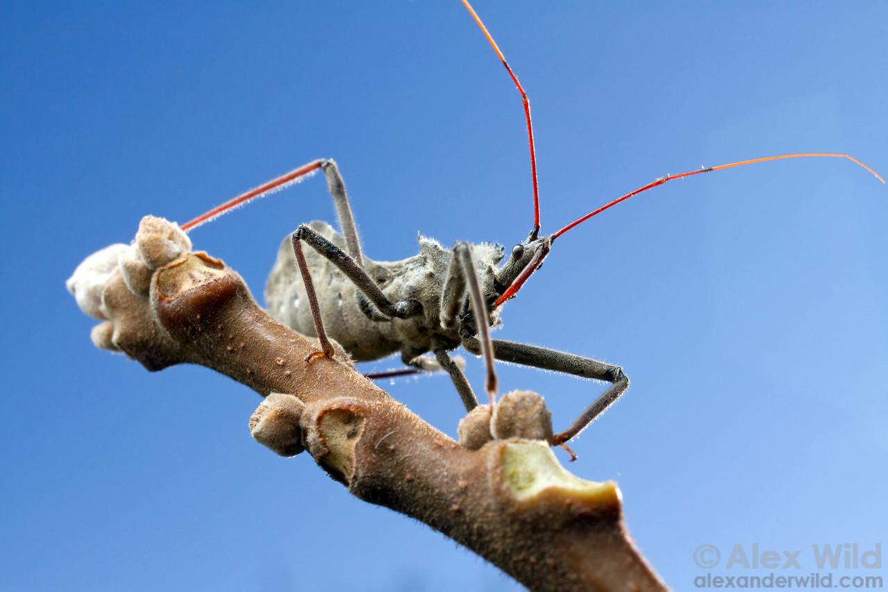 Arilus cristatus - wheel bug (Reduviidae).  Urbana, Illinois, USA