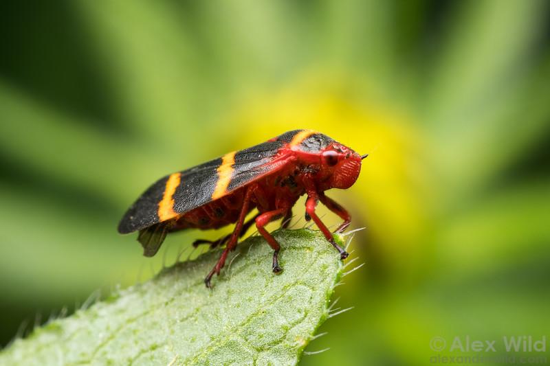 Prosapia bicincta - Two-lined Spittlebug