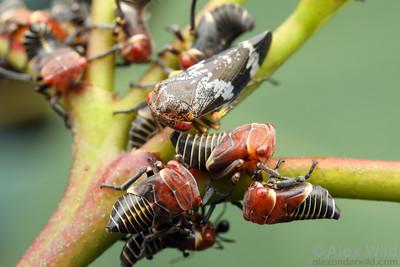 Eurymeloides punctata