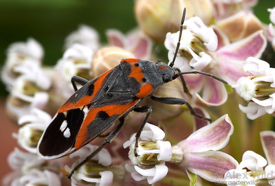The bright colors of this Lygaeus kalmii milkweed bug advertise its distastefulness to predators. Nevada, USA.  filename: lygaeuskalmii1