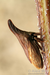 Campylenchia latipes - widefooted treehopper.  Lake Forest, Illinois, USA
