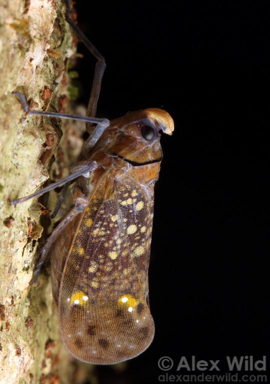 A tropical fulgorid plant hopper (Fulgoridae).  Jatun Sacha reserve, Napo, Ecuador