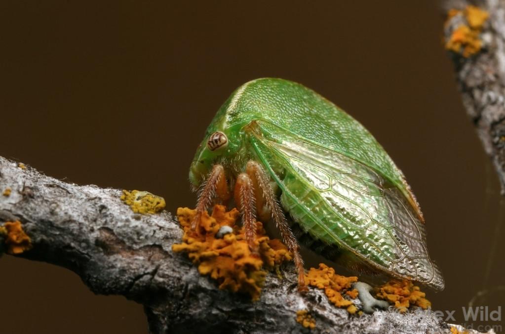 Cerasa inermis treehopper (Membracidae).  California, USA
