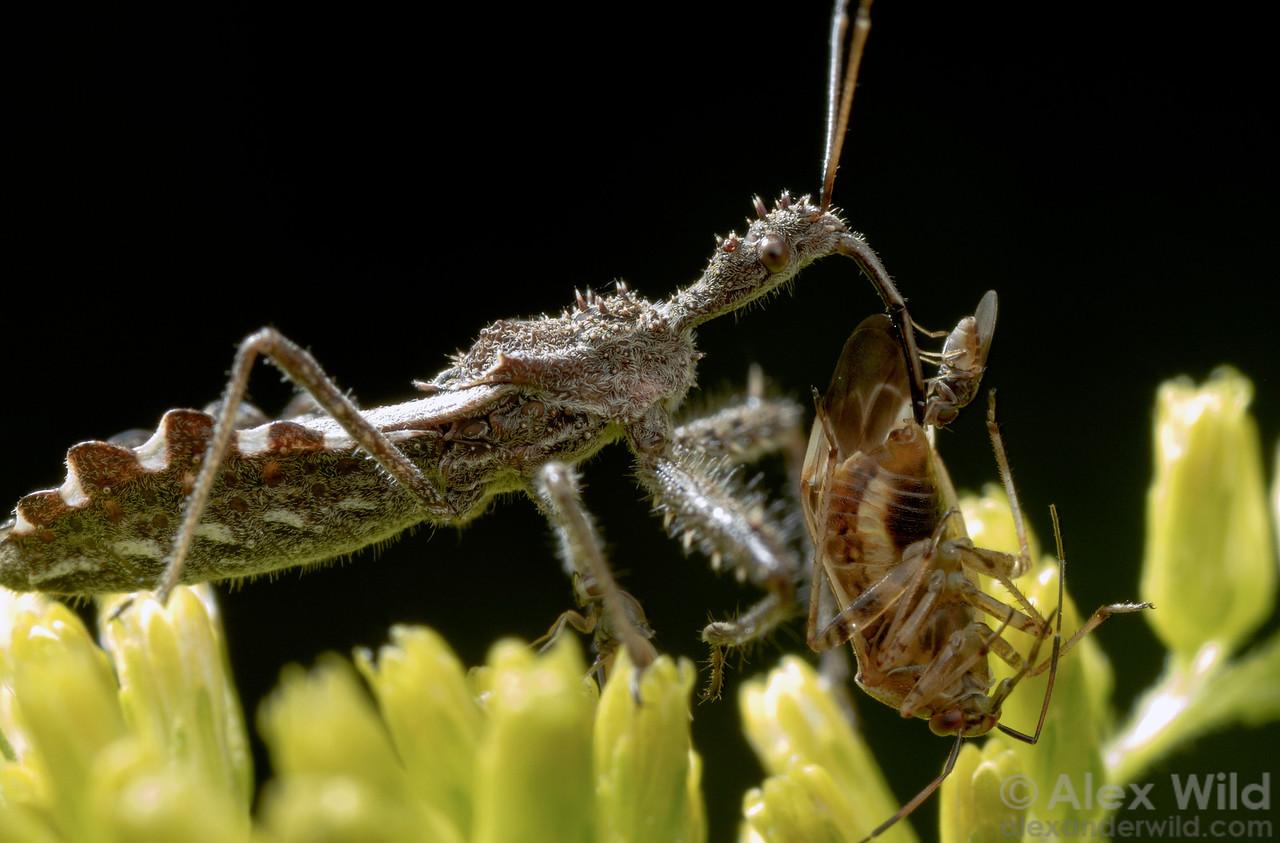 A tiny frit fly (Chloropidae: Conioscinella) steals a bit of hemolymph from the kill of an assassin bug (Reduviidae: Sinea).  East Brooklyn, Illinois, USA