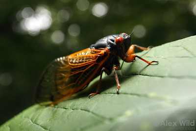 A 13-year periodical cicada, Magicicada sp., from the great southern brood (Brood XIX) that emerged in 2011. The immature forms of these insects live for years in underground burrows drinking liquid from the xylem of tree roots. Adults live only a few weeks.  Allerton Park, Illinois, USA