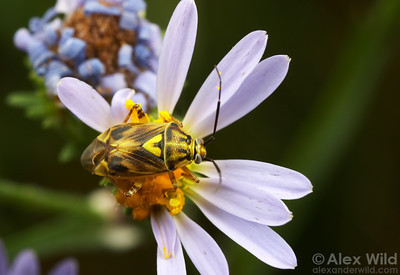 A tarnished plant bug (Lygus sp.) rests on an aster in a Sierran meadow.  California, USA.  filename: mirid2