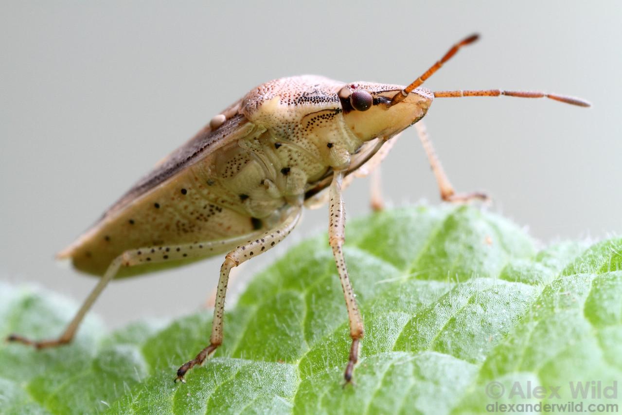 Oebalus pugnax - the rice stink bug (Pentatomidae).  Urbana, Illinois, USA