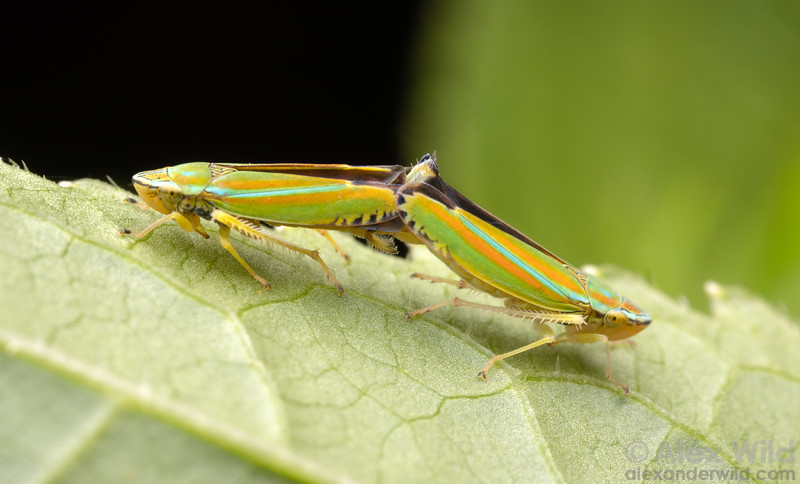 Graphocephala versuta