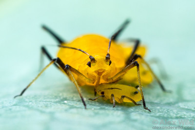 Aphis nerii - milkweed aphid. Urbana, Illinois, USA