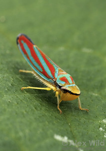 Graphocephala coccinea, the candy-striped leafhopper (Cicadellidae). This common North American insect is a vector of plant diseases.  Urbana, Illinois, USA