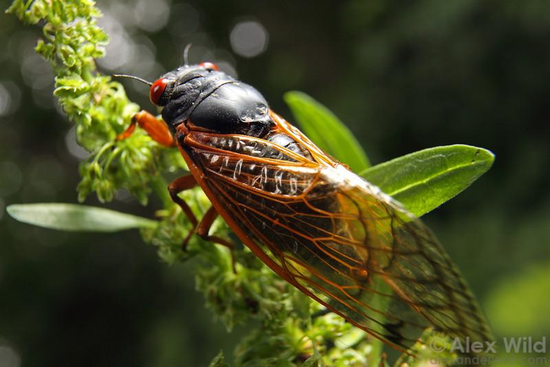 A Magicicada periodical cicada.  Allerton Park, Illinois, USA