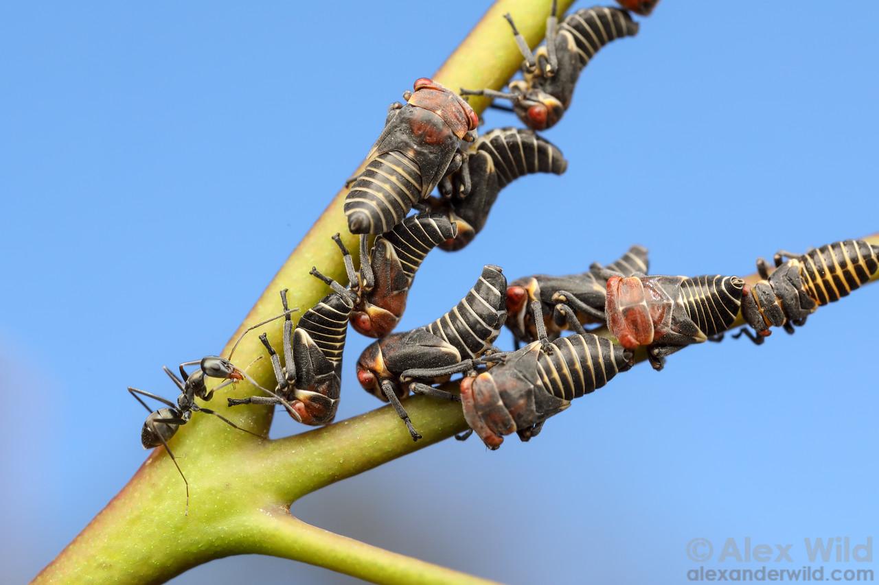 Mottled-head Gum-leafhopper - Eurymeloides punctata - with Iridomyrmex bicknelli