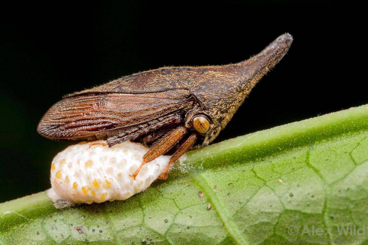Calloconophora