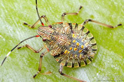 A colorful stink bug nymph (Pentatomidae) on a banana trunk.  Icononzo, Tolima, Colombia