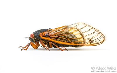Magicicada cassini
