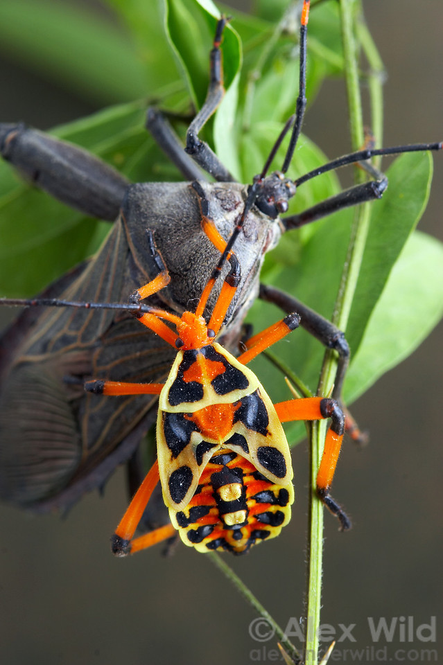 As unlikely as it may seem, these two bugs belong to the same species.  The colorful bug is an immature.  Thasus acutangulus. Mexico.  filename: thasus37