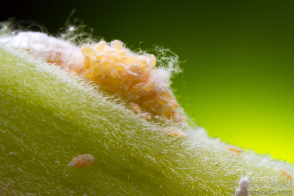 Planococcus citri mealybug eggs hatch into mobile nymphs.