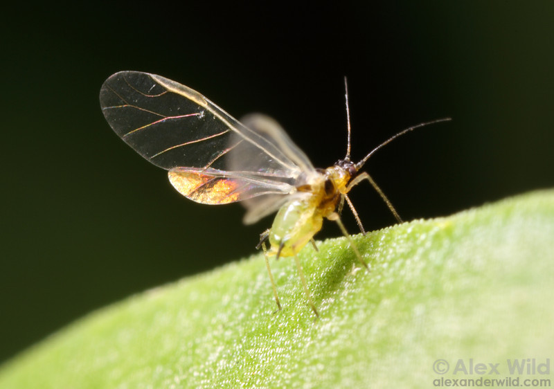 A soybean aphid (Aphis glycines) spreads its delicate wings to take flight. This insect has become one of the most economically damaging pest insects to agriculture in the United States.  Urbana, Illinois, USA
