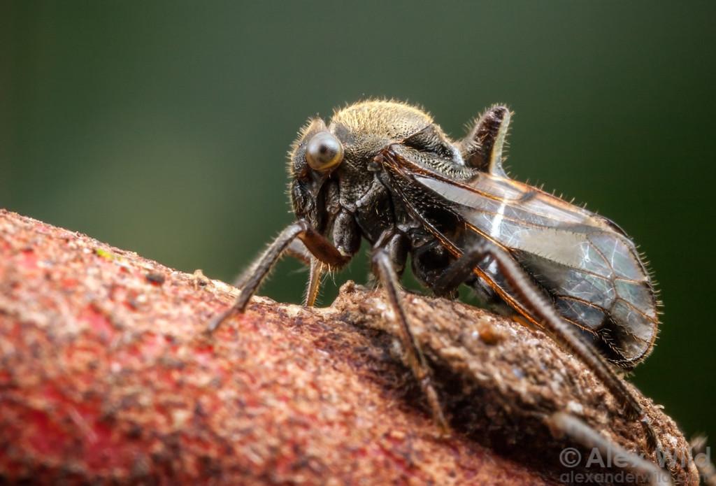 Lophyraspis muscaria