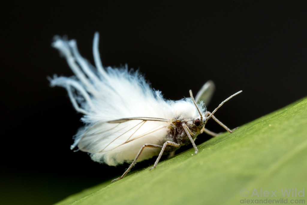Wooly Aphid