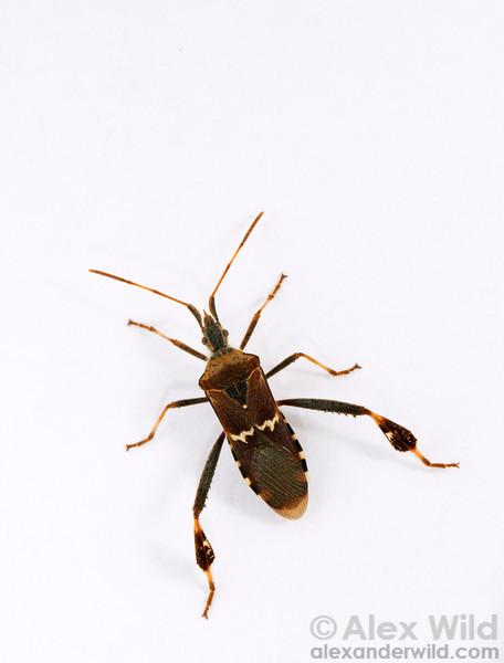 Portrait of a leaf-footed bug, Leptoglossus clypealis.  Arizona, USA.  filename: leptoglossusclypealis1