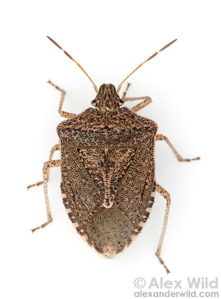 Euschistus sp. stink bug (Pentatomidae)  Urbana, Illinois, USA