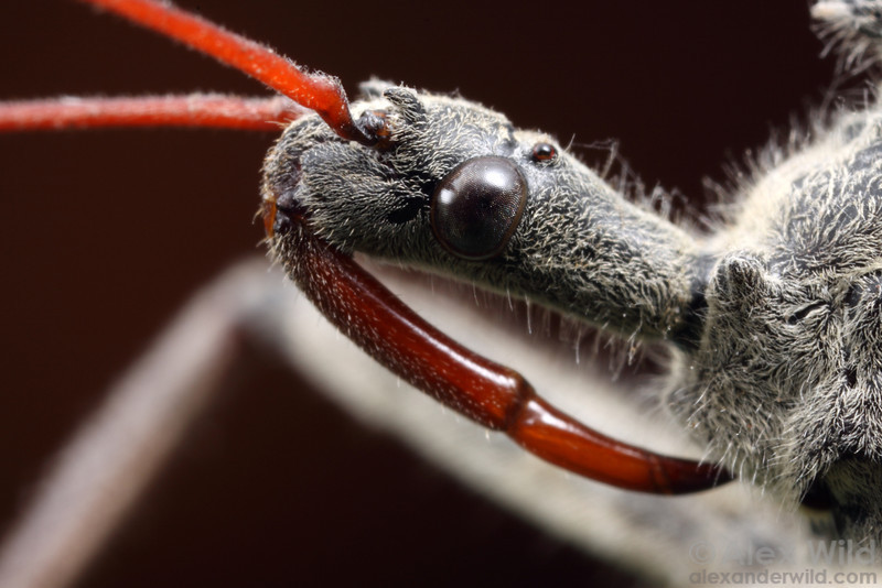 Arilus cristatus, the wheel bug.  Urbana, Illinois, USA