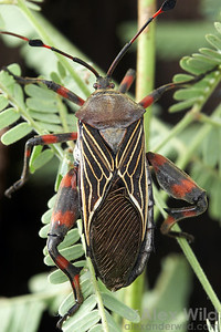 Thasus neocalifornicus Giant Mesquite Bug, adult. Arizona, USA.  filename: thasus21