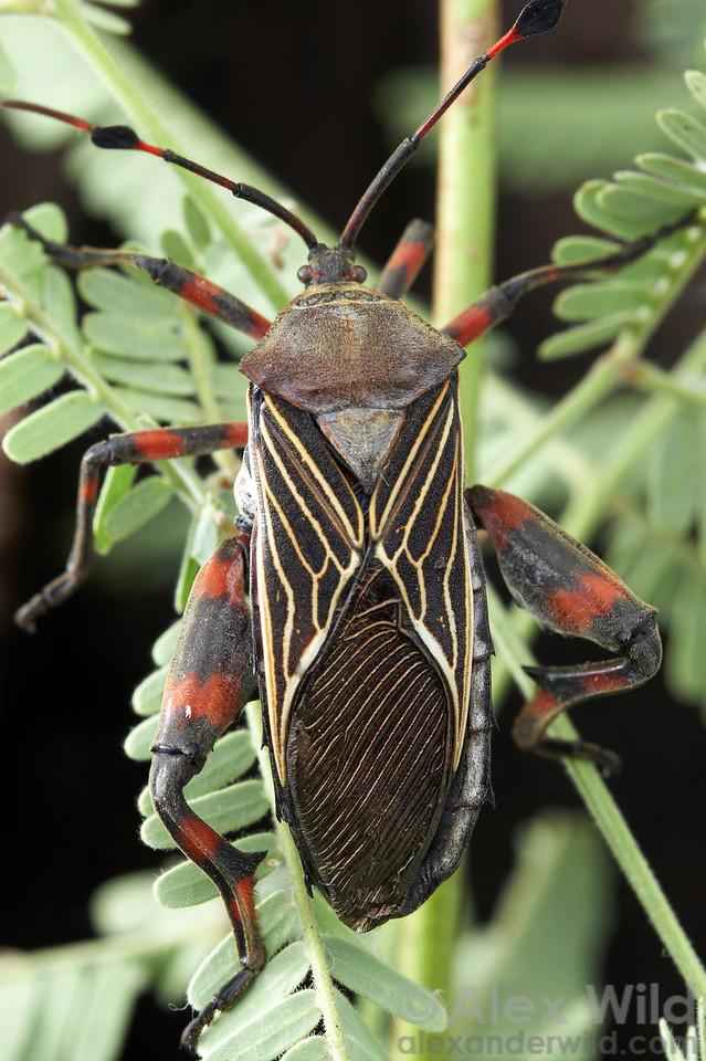Thasus neocalifornicus Giant Mesquite Bug, adult. Arizona, USA.  filename: thasus21